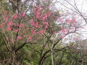 Cherry Blossom Festival inNago